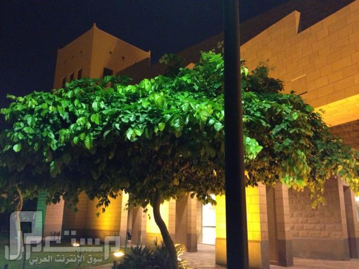 المتحف الوطني ودارة الملك عبدالعزيز ((تصويري)) شجرة من الحديقة خارج المتحف
