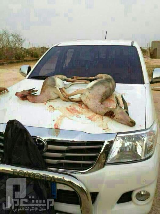 هروب اكثر من 900 غزال من محمية روضة خريم