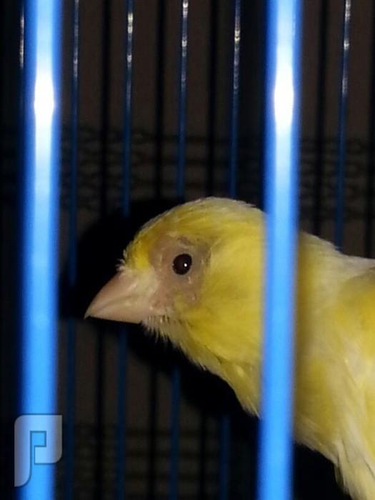 الرجاء المساعدة من لديه خبرة في طيور الكناري