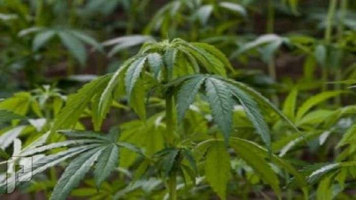لبنان يستعد لشرعنة زراعة وإنتاج الحشيشة