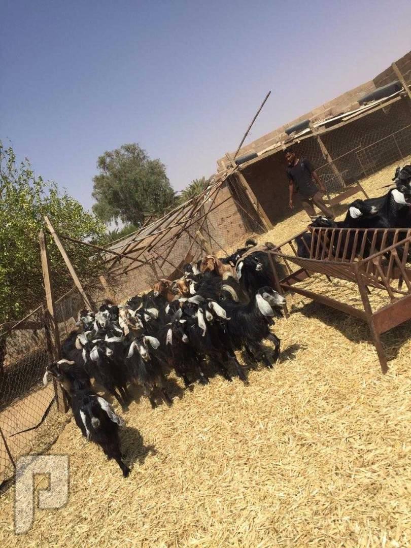 بيع مجموعه من الماعز