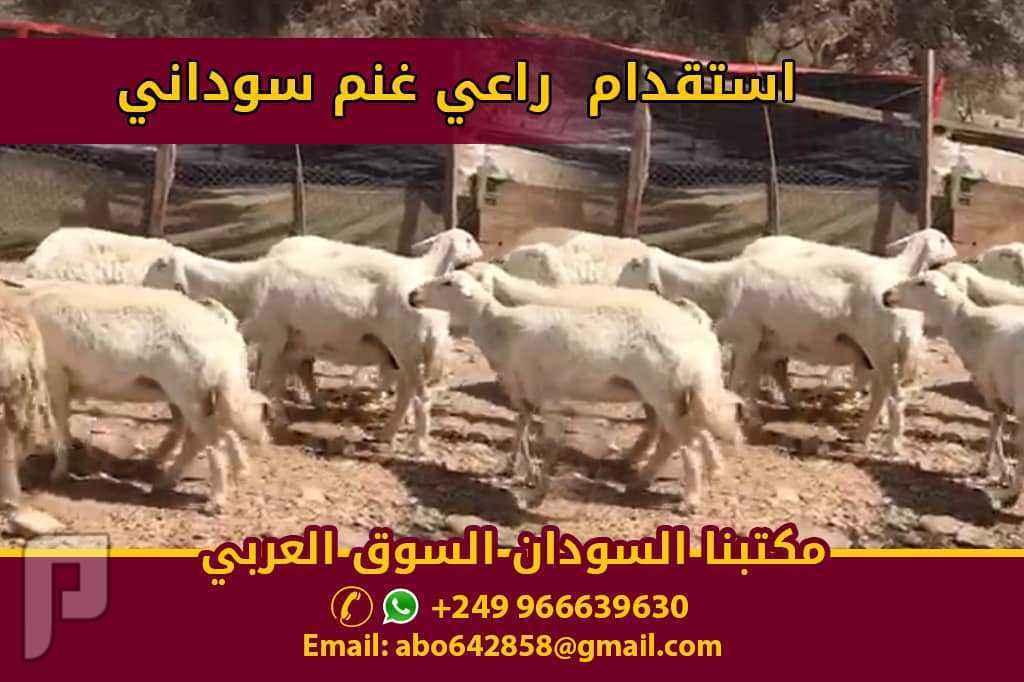 راعي غنم من السودان جاهزللاستقدام