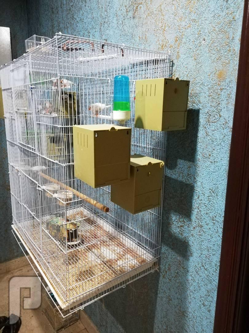 طيور زيبراء للبيع
