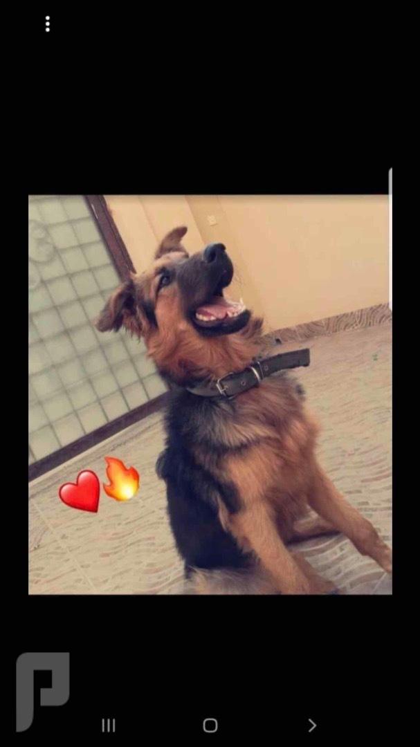 بلدية المعذر شارع ابن الكناني،  كلب جيرمن شيبرد بيور انثى